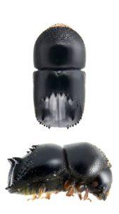 Un scarabée noir mat et brillant