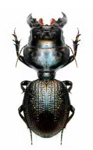 Un scarabée avec une taille de guêpe!