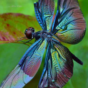 Libellule colorée